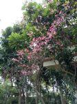 台湾山樱花