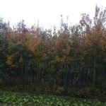 五角枫(地锦槭,五角槭)
