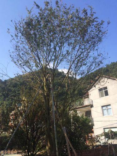 米径40公分丛生朴树图片