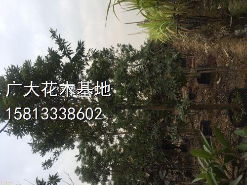 高度550公分黄金熊猫图片