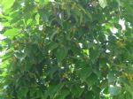 细叶榕图片