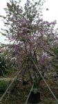 丛生宫粉紫荆