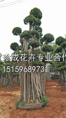高度500公分造型小叶榕图片