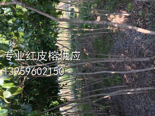 高度200公分红皮榕图片