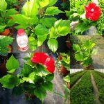 进口大红花-大红色