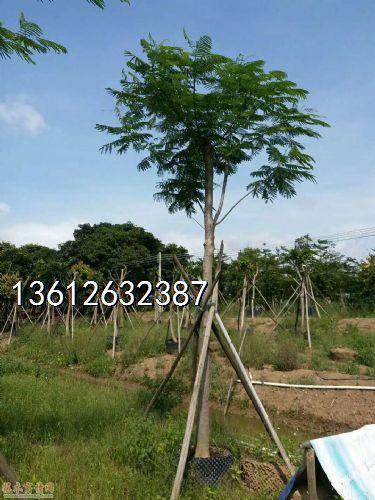 米径14公分凤凰木图片