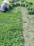 大叶油草草卷图片