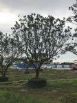 丛生柚子树