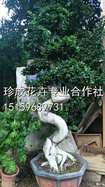 高度250公分造型小叶榕图片