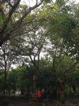 皂角树图片