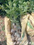 鄂西红豆树