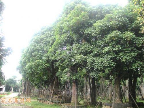 米径120公分秋枫图片