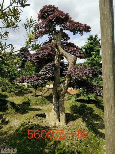 高度400公分造型红花��木图片