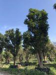 芒果树图片