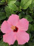 进口大红花-粉红色
