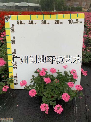 高度20公分美女樱图片
