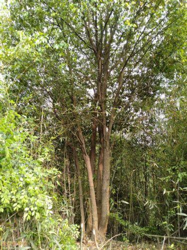 地径55公分丛生香樟图片