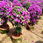 紫花勒杜鹃
