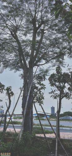 米径20公分凤凰木图片