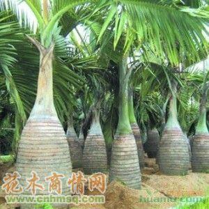 高度150公分酒瓶椰子图片