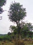 朴树(黄果朴,朴榆)