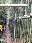 刚竹(榉竹,光竹,胖竹,青皮刚竹)