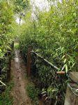 紫竹(黑竹)