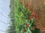 红花勒杜鹃图片