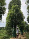 丛生香樟图片