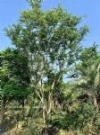 丛生朴树图片