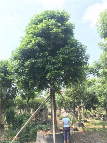 米径33公分秋枫图片