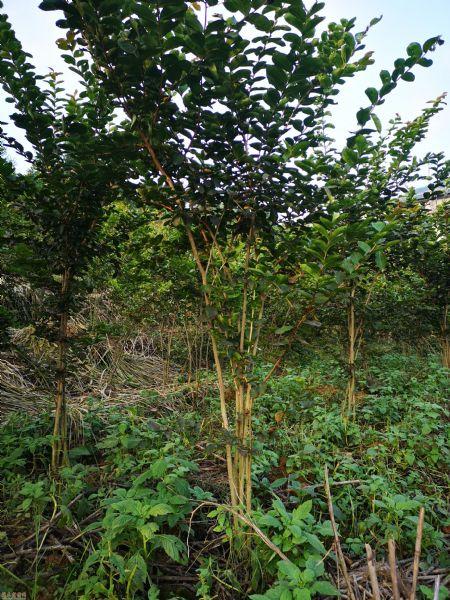 高度250公分丛生紫薇图片