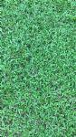 大叶油草(巴西地毯草)