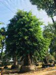 高山榕图片