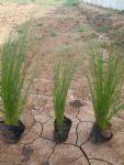 细茎针茅(墨西哥羽毛草,细茎针芒)