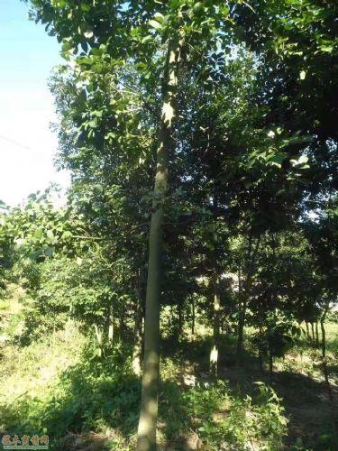 米径10公分鄂西红豆树图片