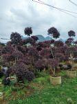 造型红花��木