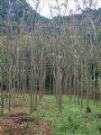 栾树(灯笼树,摇钱树,金雨树,国庆花,木老芽)