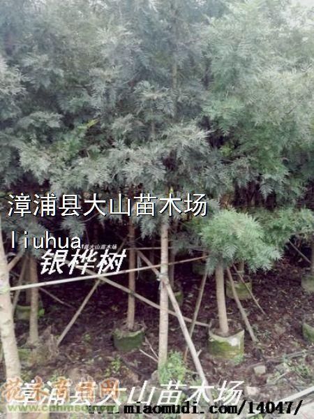 高度600公分黄花银桦图片