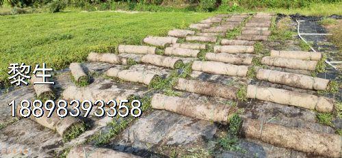 高度140公分铺地锦竹草图片