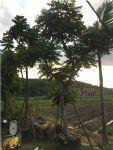 台湾栾树图片