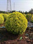 黄榕球图片