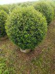 尖叶木樨榄
