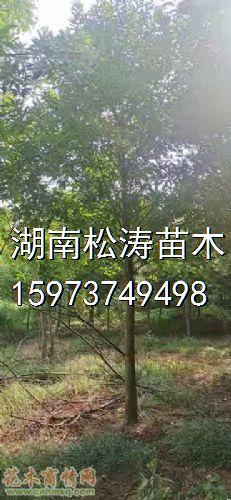 米径12公分杜英图片